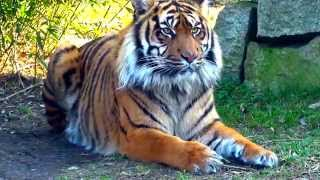 Tygrys sumatrzański / Sumatran tiger / Panthera tigris sumatrae / Part 2 | DinoAnimals.pl