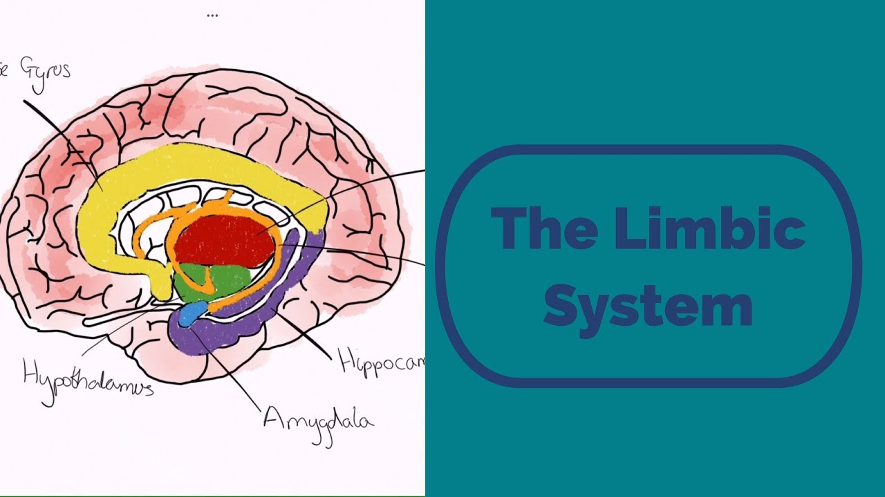 The Limbic System - YouTube