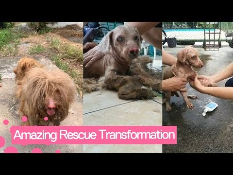 Neglected Dog With Dreadlocked Fur Receives A Haircut