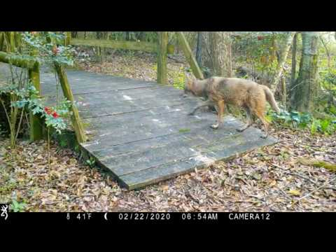 Backyard Trail Camera, Bridge Cam 2, 18 months. South Louisiana.