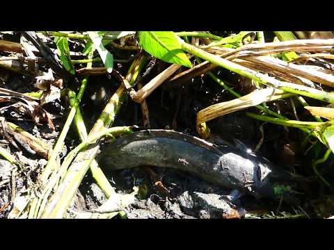 Wow! Amazing Fish Today A Smart Man Catching Big Fish A lot In Mud After Dry Water