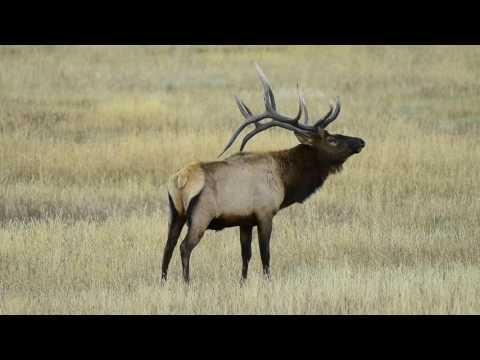 bull elk bugling in yellowstone national park,fall 2016