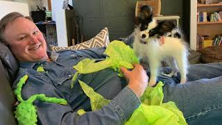 Bella just wants to play!    (best papillon puppy music video)