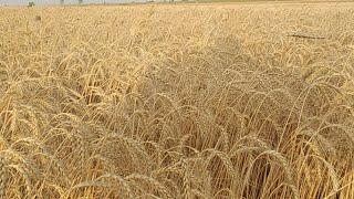 Уборка 2020! Пшеница Прямой эфир С Поля!