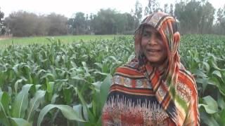Lalmonirhat-Bangladesh Maize Farming