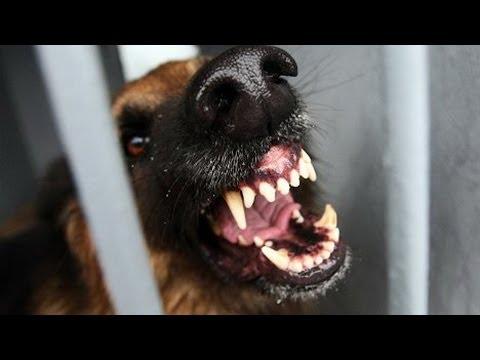 Дрессировка собак опасных пород. GuberniaTV