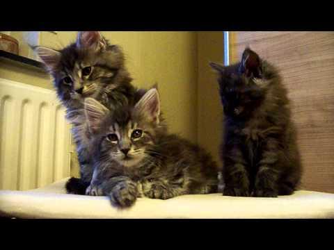maine coon kitten (8 wochen)
