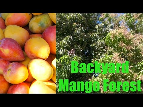 Incredible Mango Tree Forest in Phoenix, Arizona - Wow!
