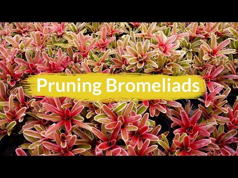 Pruning Bromeliads