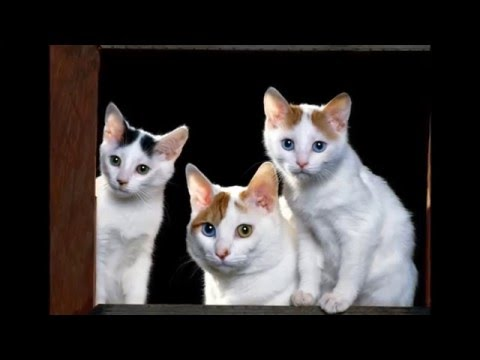 Photos of my cat breed Japanese Bobtail
