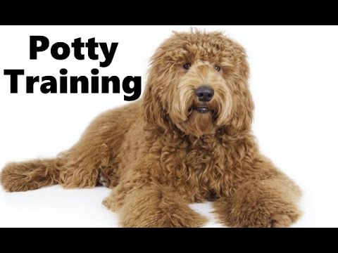 How To Potty Train A Labradoodle Puppy Labradoodle House Training