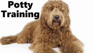 How To Potty Train A Labradoodle Puppy - Labradoodle House Training Tips - Labradoodle Puppies