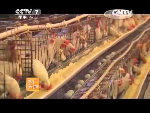 20150505 农广天地  蛋鸡153标准化养殖模式 新杨绿壳蛋鸡配套系