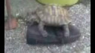 turtle and shoe 2