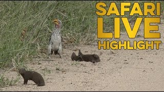 Hilarious dwarf mongoose plays dead for hornbill! thumbnail