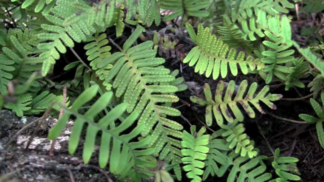 Resurrection Fern A Plant With Amazing Superpowers Time Lapse