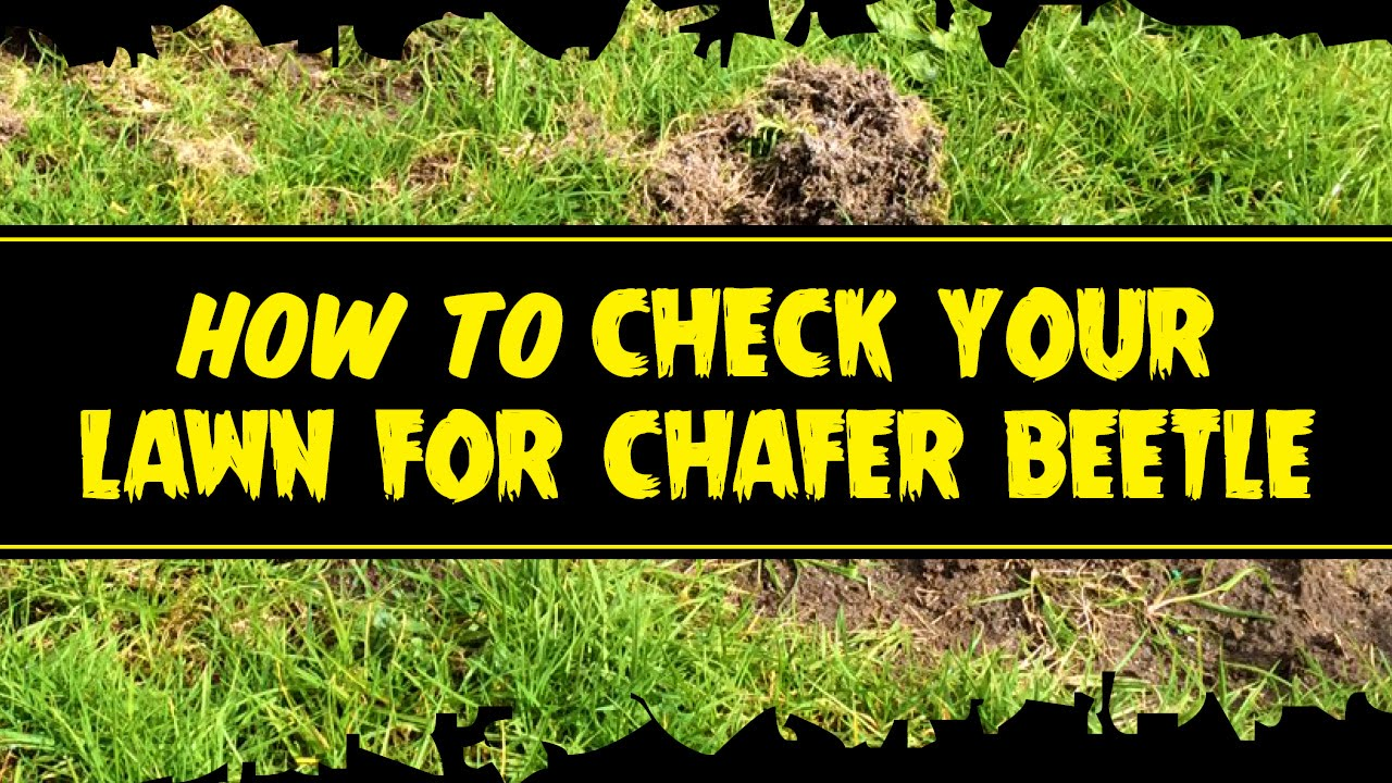 how to get rid of chafer grubs