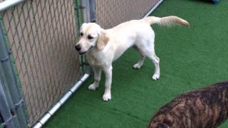 Golden Retriever Puppy In Doggie Daycare At Dogstown University In Deerfield Beach Florida
