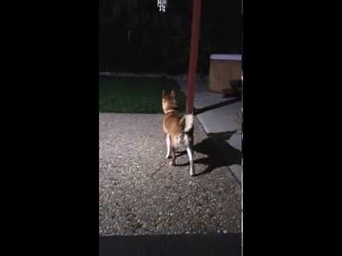 Shiba Inu Hunting At Night for Critters