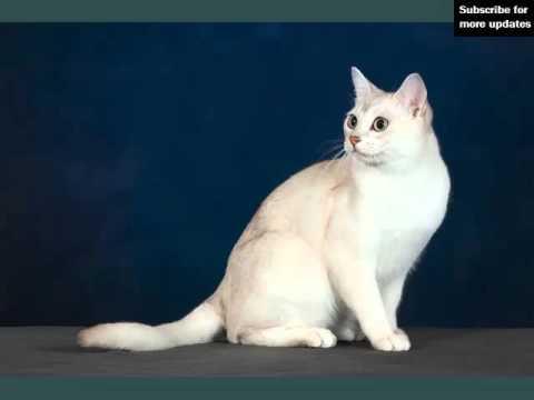 Burmilla | Picture Ideas Of Cats