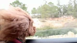 Видео фон для сайта - Собака в машине   rowpost.com