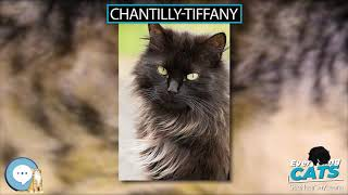 Chantilly Tiffany  EVERYTHING CATS