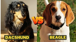 Dachshund vs Beagle - Which Dog Breed is Better ?