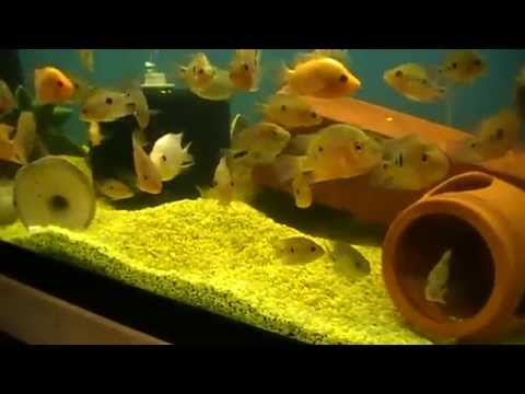 The Midas Cichlid Evolutionary History of a Species Pt. 1