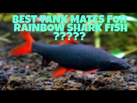 Best Suitable Tank Mates For Rainbow Shark Fish