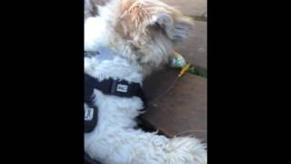 Lhasa Apso Dogs See Live Fish For Their Very First Time