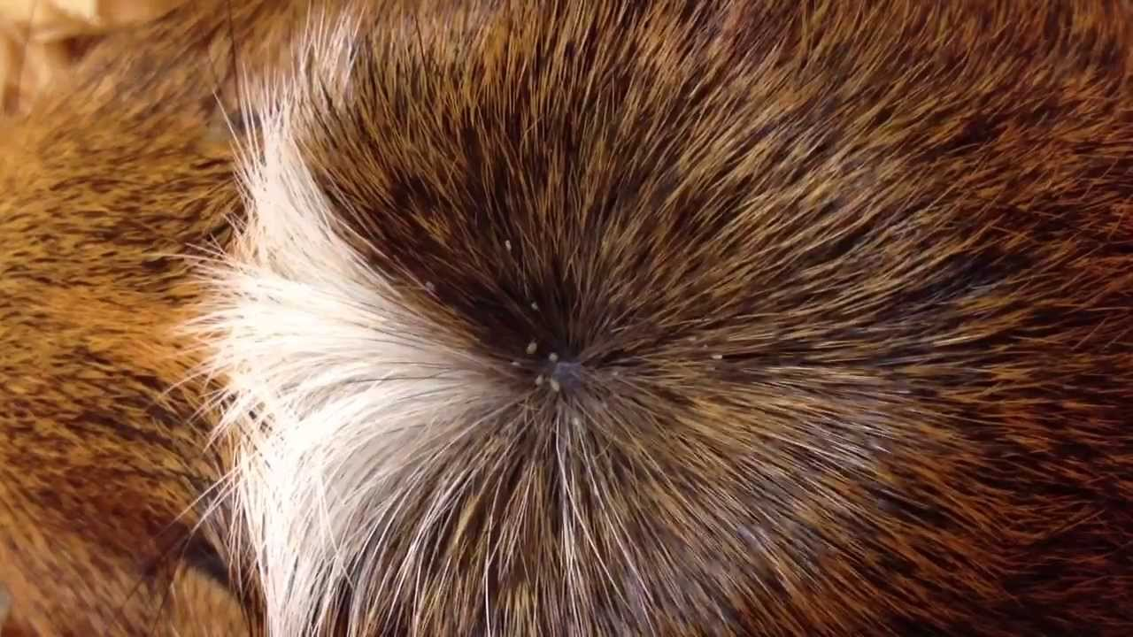 Guinea Pig Lice In Action Youtube