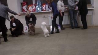 Выставка собак, русская цветная болонка