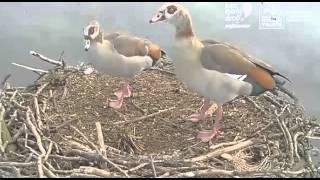 Kazarki w gnieździe po rybołowach