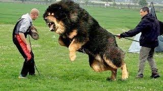 أقوى 10 كلاب في العالم... لدرجة أنها تريد أن تأكلك !!