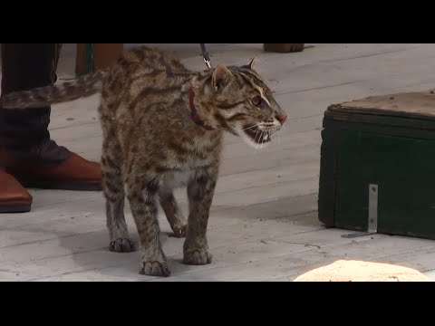 Maki The Fishing Cat - Endangered Cat Show - Colorado Renaissance Festival 2015