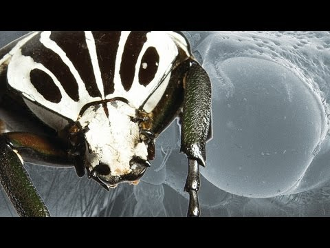 Ultimate Fighting Champion - The Goliath Beetle [Interactive] - Earth Unplugged