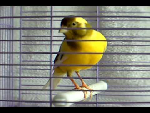 Image result for canary bird