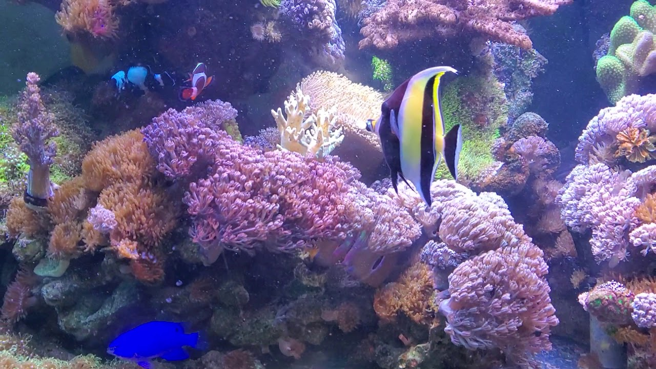 Moorish Idol Aclimated Success After 2 Hours To Reef Tank Youtube