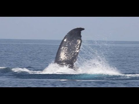 Born to be Wild: Doc Nielsen Donato catches an underwater footage of humpback whales in Babuyan