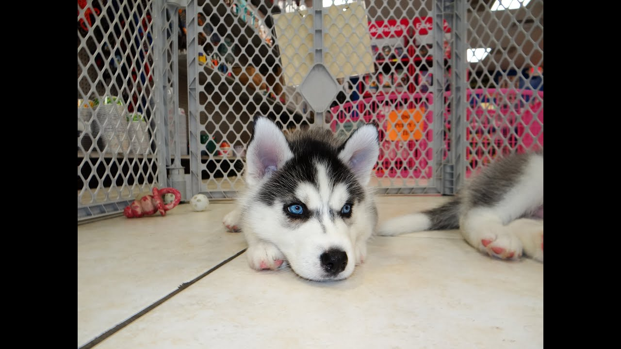 Siberian Husky Puppies Dogs For Sale In Southaven County