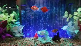 Fancy Godfish Tank