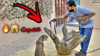 قررت اطلع الفهد ( شيخه ) من غرفتها !! واخليها تتمشى بالمزرعه 😱