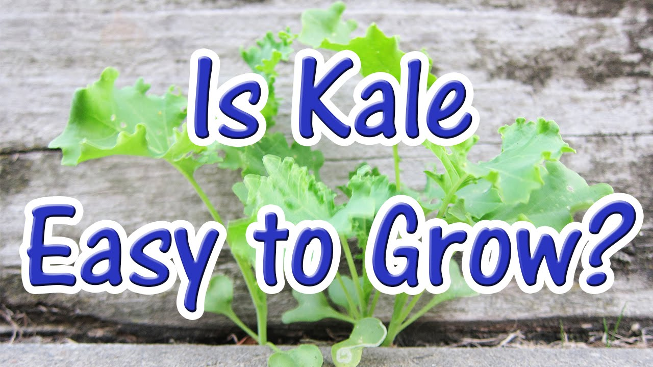 How Easy Is It Growing Kale From Seed To Grow At Home