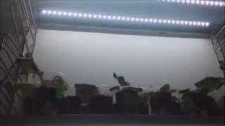 Фиалка. Светодиодная лента для фиалок.(Делаем подсветку для фиалок из светодиодной ленты. Как разрезать, как спаять, как приклеить - ответы на..., 2016-06-03T13:32:06.000Z)