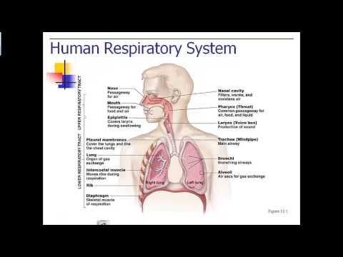 respiration parts and function - youtube, Cephalic Vein