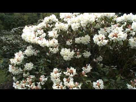 """DSCN2555 - """"Hofrundgang Zur Rhododendron-Blütezeit"""""""