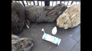 Псороптоз или как лечить ушной клещ у кролика