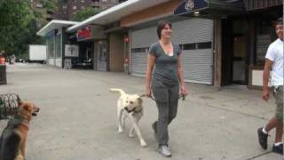 Labrador Learns To Walk On The Leash - Dog Training - Dctk9 - Part 3