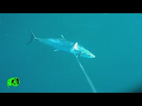 Rapala X Rap Magnum 40  Trolling For Tuna And King Mackerel Filmed On Water Wolf