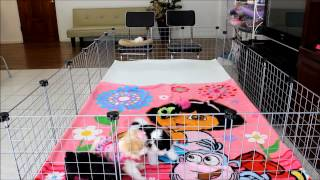 Micro Teacup Shih-tzu & Malshi Dog Puppies For Sale In Los Angeles & Orange County California